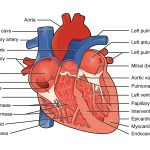 picture of healthy heart
