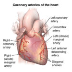 coronary arteries of the heart