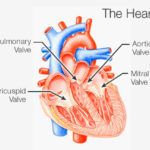 important parts of heart