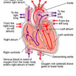 the process of blood pumping in heart
